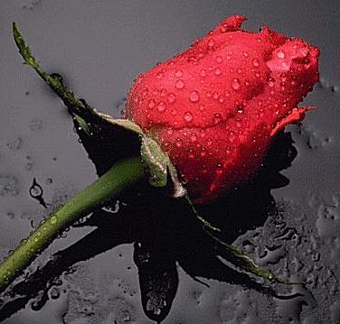 ~!~I LOvE FlOwErS~!~, BEacuse A heart is made up flowers... 1950-rose002